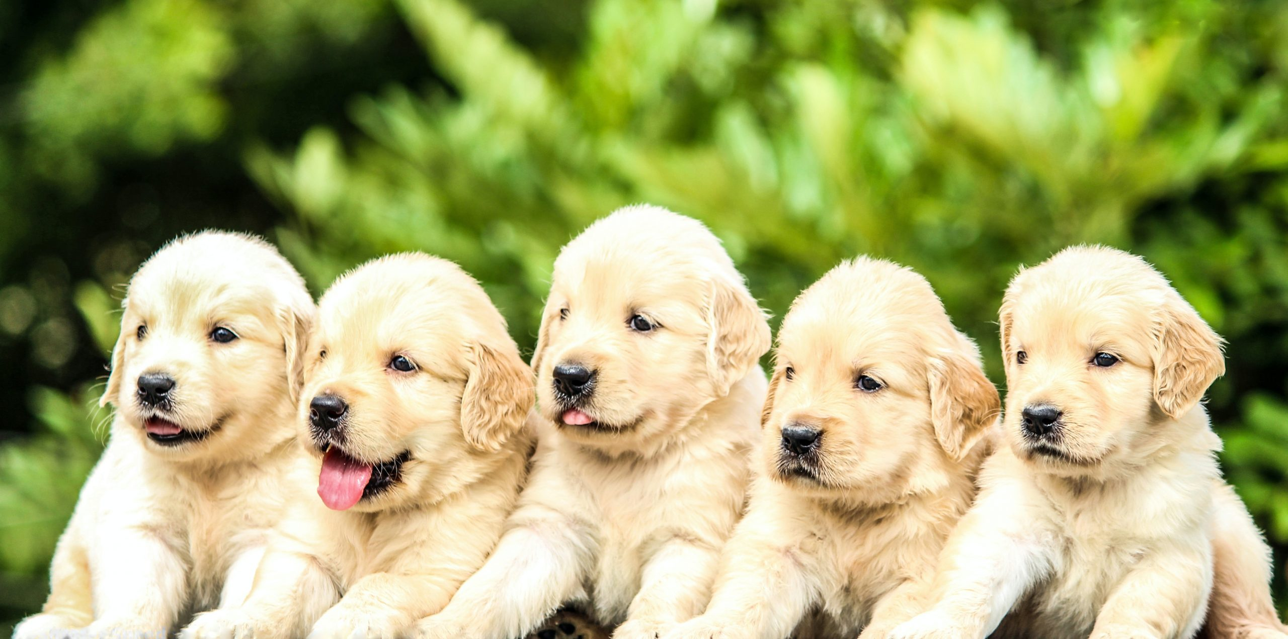 Five Golden Retriever Puppies was enough cuteness for the day