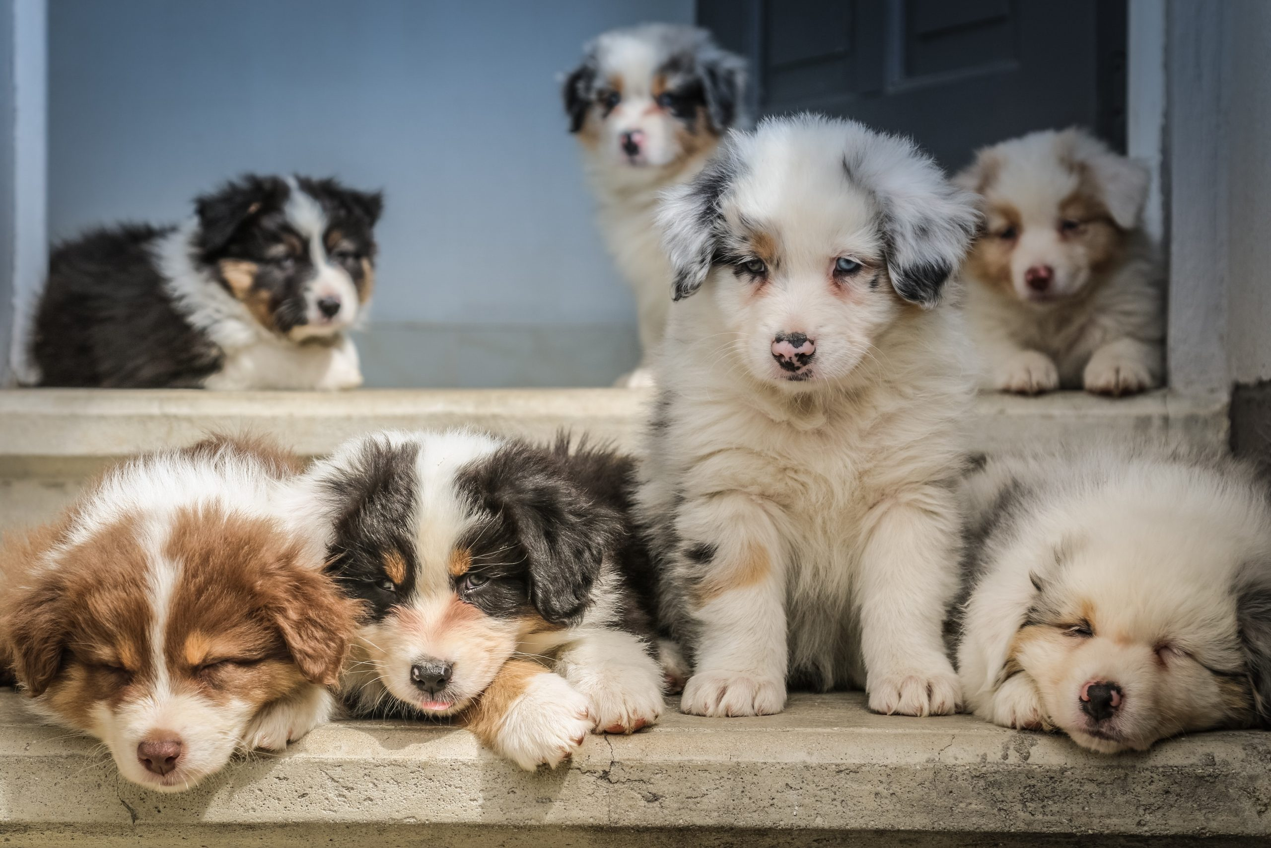 "More photos and videos of Australian Shepherd babies on our facebook page ""bbbergeraustralien"""