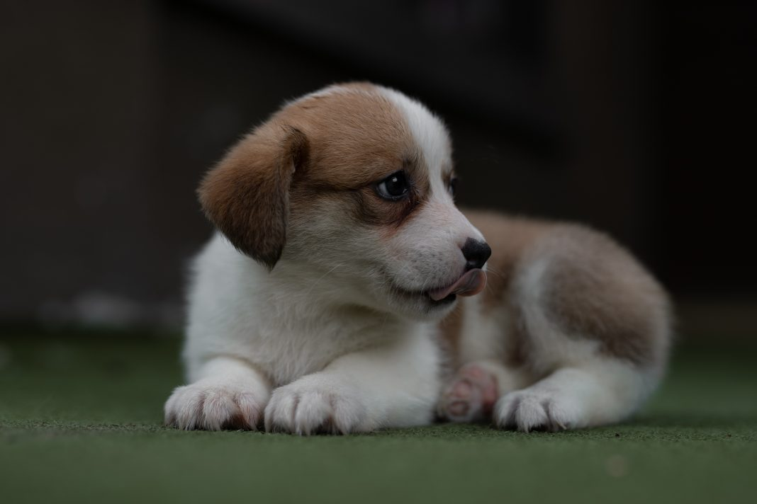 short-haired white and brown puppy